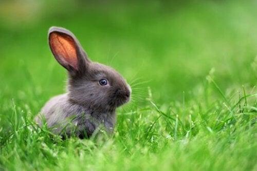 Szary królik w trawie