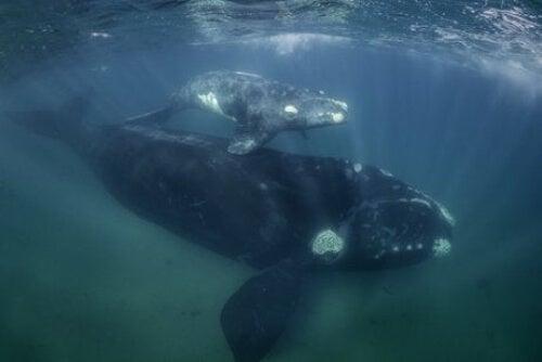 Matka wieloryb i młode