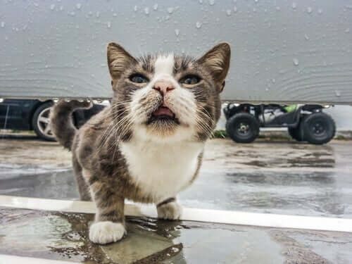 Narząd womeronasalny u kotów