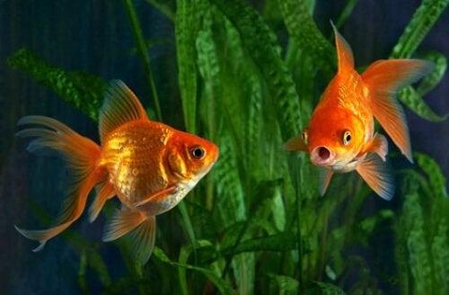 Dwie złote rybki