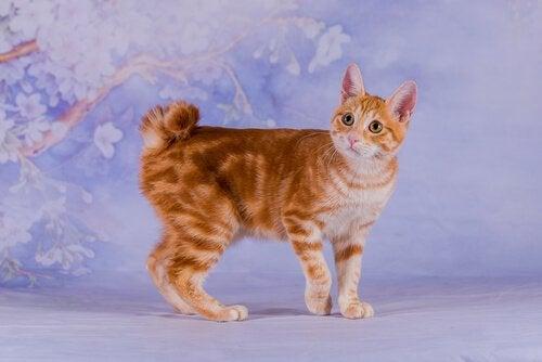 Japoński bobtail, azjatyckie rasy kotów