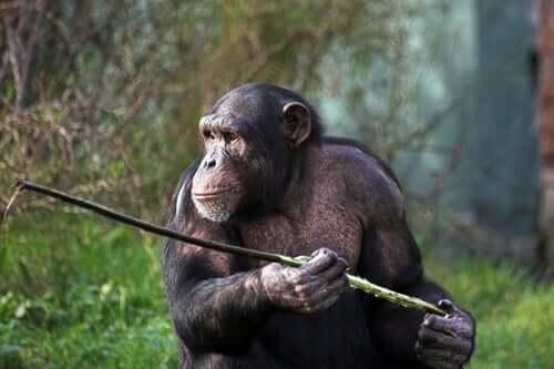Małpy z Fongoli nauczyły się polować włócznią