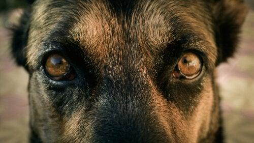 Oczy i źrenice psa