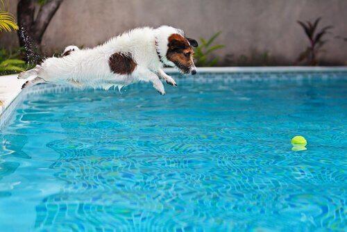 Pies skacze za piłką do basenu