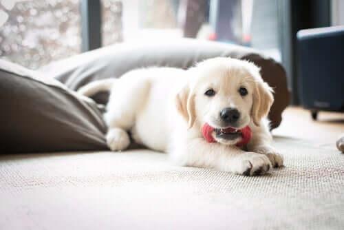 pies szczeniaki biały z zabawką