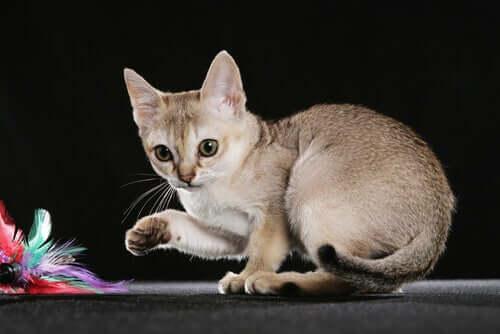 Najmniejsze rasy kotów - poznaj 5 przykładów
