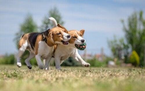 Dwa biegnące psy