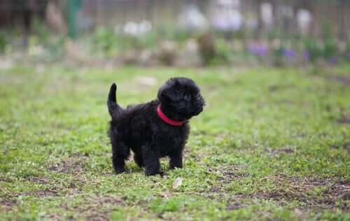 Psy na wymarciu: affenpinscher