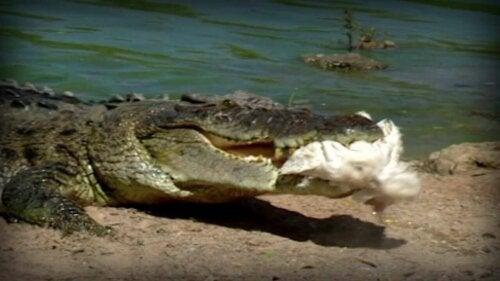 krokodyl z ofiarą