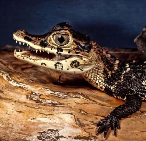 krokodyle mały