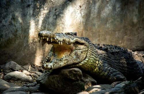 krokodyle paszcza