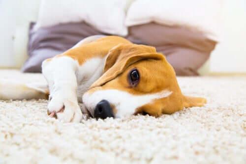 Padaczka u psów: objawy i rozwiązania