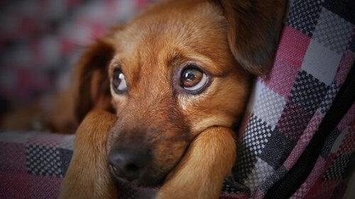 Pies chory na grypę