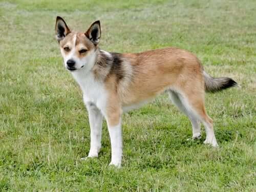 Rasy psów zagrożone wyginięciem - poznaj 5 z nich