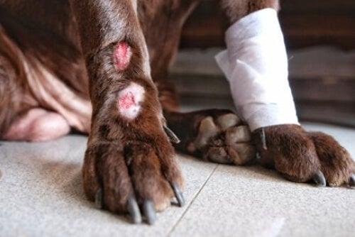 Zapalenie skóry na łapach psa