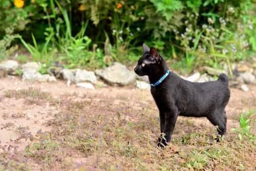 Japoński kot Bobtail: opieka i zachowanie