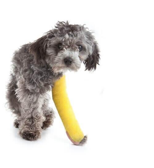 Psy małych ras, które kuleją - poznaj je