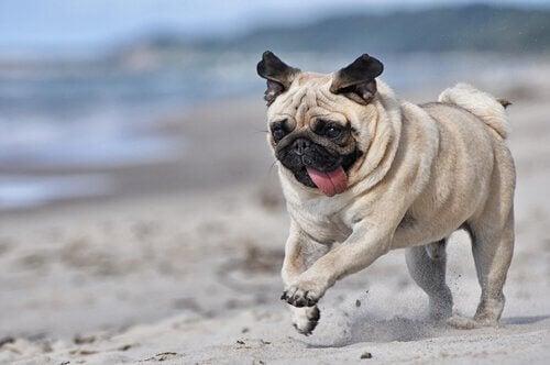 Mops na plaży