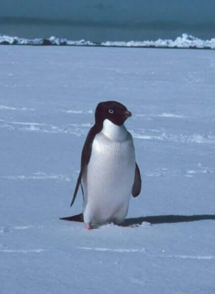 cmentarz pingwiny antarktyda