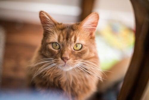 Kot somalijski: osobowość i pielęgnacja