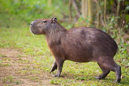 Kapibary - co to za tajemnicze zwierzęta?