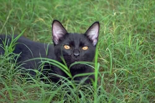 Najbardziej kochające rasy kotów: Bombay