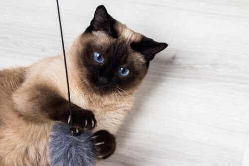 10 najdelikatniejszych ras kotów