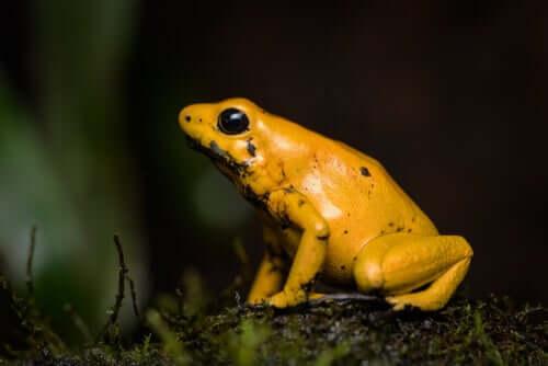 Liściołaz żółty - najbardziej toksyczny płaz świata