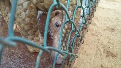Czy łuskowiec przenosi koronawirusa COVID-19?