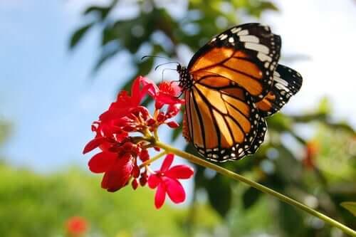 Motyl monarcha - niesamowita odyseja danaida wędrownego