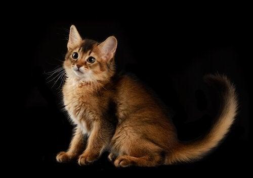 pielęgnacja kota somalijskiego