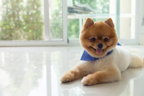 Specjalne fryzury dla psów i rodzaje strzyżenia
