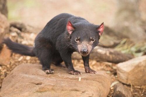 Torbacze – zwierzęta, które królują w Australii