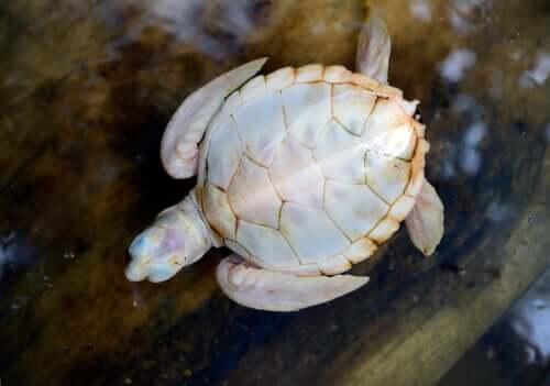 Biały żółw: wszystko, co powinieneś o nim wiedzieć