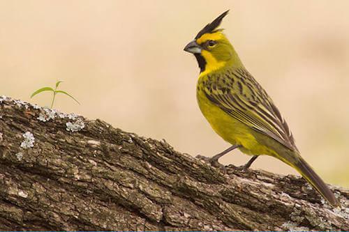 Kardynał żółty - śpiewak o pięknym głosie