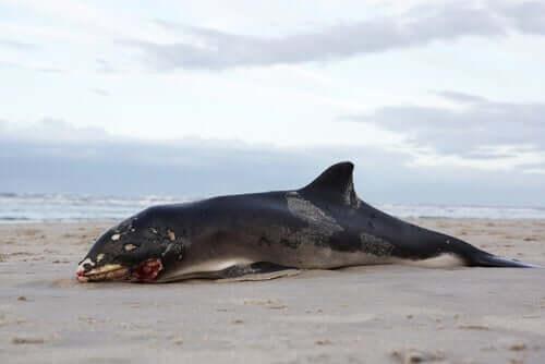 Martwe wieloryby - dlaczego wybuchają?