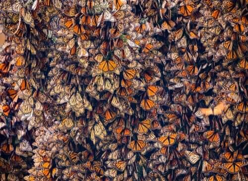 migracje owadów