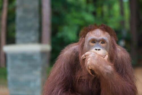 Orangutany świetnie radzą sobie z narzędziami
