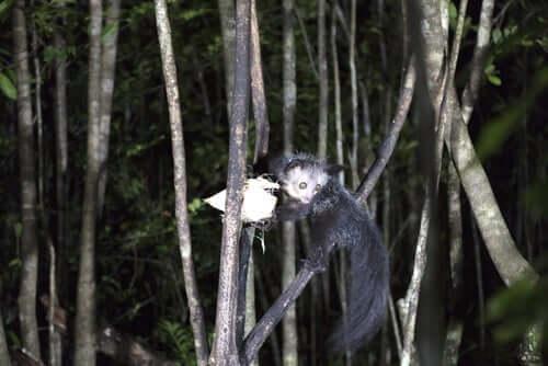 palczak na drzewie