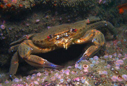różnice między krabami