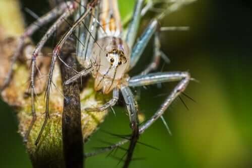 Uśmiechnięte pająki - zachowanie i siedlisko