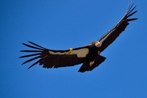 Kondor kalifornijski w locie