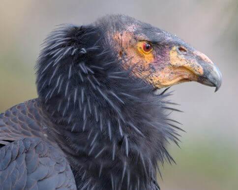Kondor kalifornijski: część ekipy sprzątającej ziemi