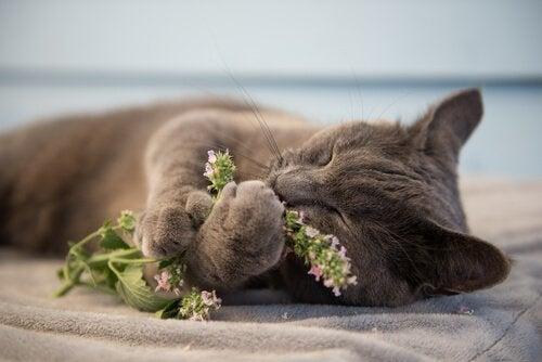 Kocimiętka dla kota - czym jest i czemu kot ją kocha