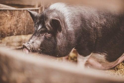 dorosła świnia
