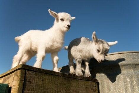 kozy pigmejskie – karłowatość u zwierząt