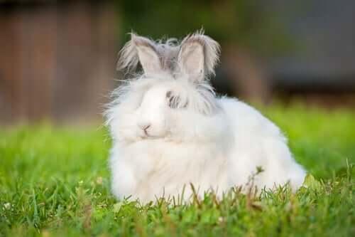 królik angora