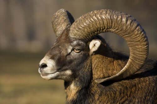 Owca ałtajska - poznaj to niezwykłe zwierzę