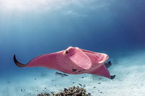 Płaszczka różowa z Wielkiej Rafy Koralowej