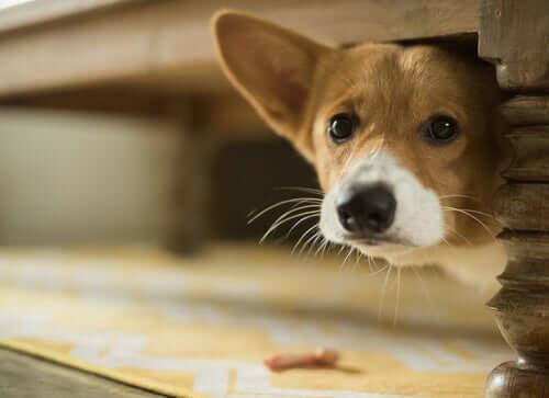 schowany pies